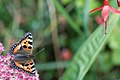 Bencrowe - Butterfly and Fuschia (by).jpg
