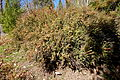 Berberis wilsoniae - Quarryhill Botanical Garden - DSC03660.JPG