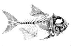 Skelet af benfisk Beryx decadactylus