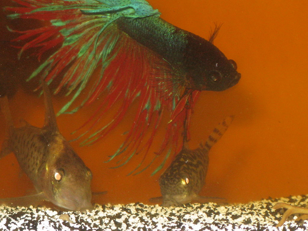File betta splendins with corydoras wikimedia commons for What kind of fish can live with a betta