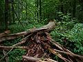 Białowieża National Park, Poland (4664504096).jpg