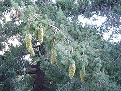 Bigcone Douglas-fir at mtbaldy.jpg