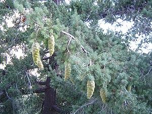 Pseudotsuga macrocarpa - Bigcone Douglas-fir at Mount San Antonio