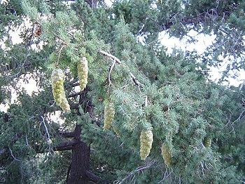 Bigcone Douglas-fir