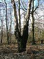 Birch Tree, Landmoth Wood - geograph.org.uk - 124286.jpg