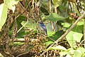 Bird Small Niltava 03.jpg