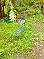 Bird peacock.jpg
