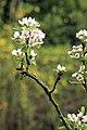 Birnbaumblüten.jpg