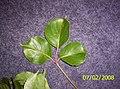 Bischofia javanica Blume (AM AK301758-4).jpg