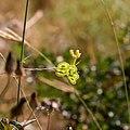 Biscutella laevigata-Biscutelle commune-Graines-20150609.jpg