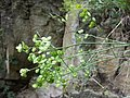 Biscutella laevigata subsp. kerneri sl8.jpg