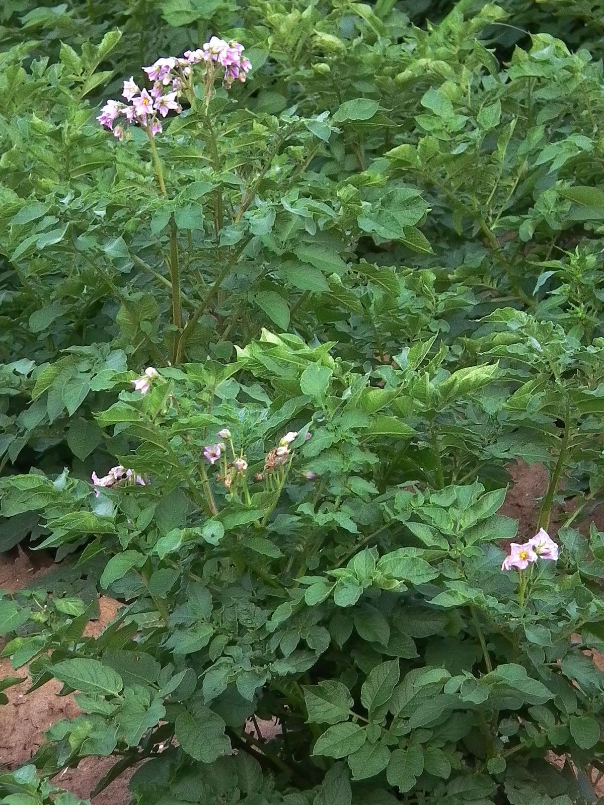 Картофель – полезные свойства, состав и противопоказания