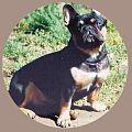 Black-and-tan-french-bulldog-Major.jpg