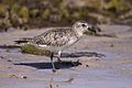 Black-bellied Plover (5820755649).jpg