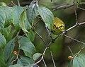 Black-throated Green Warbler (37541826711).jpg