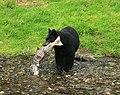 Black Bear Caught A Salmon.jpg