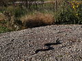Black Rat Snake Sunning Itself at the Refuge (8250584574).jpg
