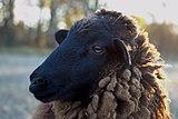Black Sheep Closeup.jpg