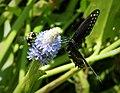Black Swallowtail Papilio polyxenes asterius (24008569917).jpg