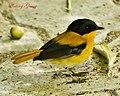 Black and Orange Flycatcher (Male) (6883453762).jpg