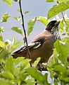 Black headed Jay Iw IMG 3202.jpg