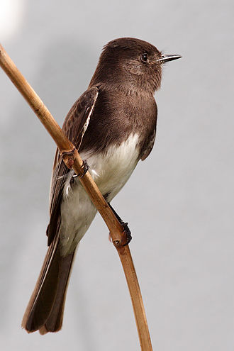 Black phoebe - Juveniles have a browner plumage, which darkens into black as the bird ages