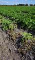 Blackleg of Potato Wilt in Field.png