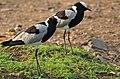 Blacksmith Lapwings (Vanellus armatus) (32446051713).jpg