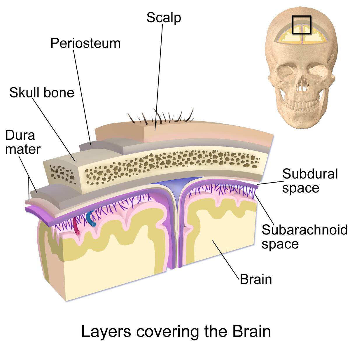 Kopfhaut – Wiktionary