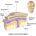 Blausen 0110 BrainLayers.png