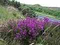 Blooming heather - geograph.org.uk - 878961.jpg