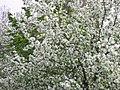 Blossoms (2221108152).jpg