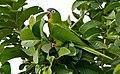Blue-crowned Parakeet (Aratinga acuticaudata) (29023988940).jpg