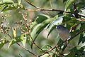 Blue-gray Gnatcatcher - Flickr - GregTheBusker.jpg