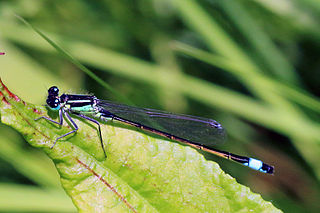Blue-tailed damselfly species of insect