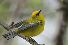 Blue-winged Warbler.jpg