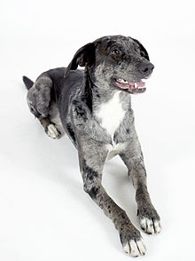 Gifts for Catahoula Leopard Dog Lovers