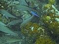 Blue Chromis.jpg