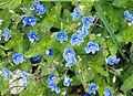 Blue flowers in Slovenia.jpg
