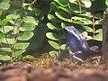 Blue frog.jpg
