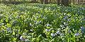 Bluebell Carpet (13170231184).jpg