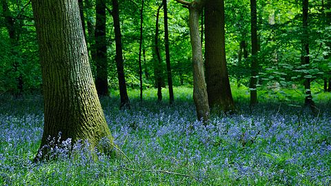 Bluebell Wood Forest of Dean.jpeg