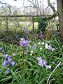 Bluebells and cuckooflower - geograph.org.uk - 759249.jpg