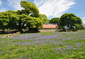 Bluebells at Emsworthy.jpg