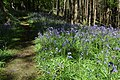 Bluebells in Fownhope Park Wood - geograph.org.uk - 1310212.jpg