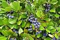 Blueberries - Jardim Botânico da Universidade de Coimbra - Coimbra, Portugal - DSC08804.jpg