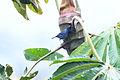 Bluish Flowerpiercer (5283140856).jpg