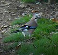 Blurry Picture of a Eurasian Jay.jpg