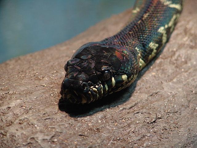 Boelen Python Snake