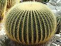 Bogarub-echinocactus-grusonii-1.jpg